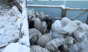 Овцы простые и романовские. Телка 2г. обмен на мото, Алтайское, цена: 6 000р.