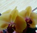 Орхидея фаленопсис, Минеральные Воды