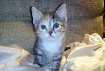 Супер красивый котенок Майя, метиска, 2мес. , в дар