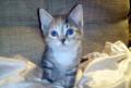 Супер красивый котенок Майя, метиска, 2мес. , в дар, Москва