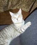 Вязка очаровательный котик скоттиш страйт, Озинки