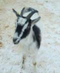 Коза, Олонец