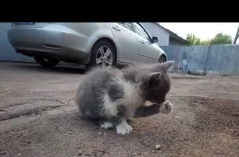 Котята в хорошие руки (похожи на скоттиш-страйт)