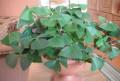 Кислица (зелёная и фиолетовая), Выгоничи