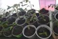 Семена и рассада томатов, Брянск