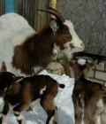 Дойная молочная коза продам или обмен на теплицу, Ковров