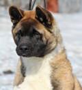 Продам щенка американской акиты, Хабаровск