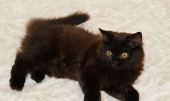 Черный британский котик 4 месяца. длиннош