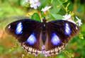 Живые тропические бабочки луна hypolimnas, Ростов-на-Дону