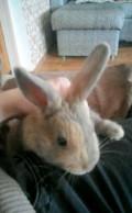 Кролик, Белгород
