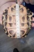 Красноухие черепахи, Псков