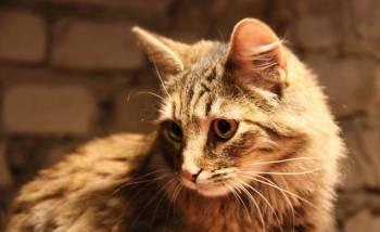 Супер кошка Кнопа - молодая красавица в дар