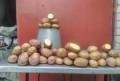 Картофель семенной или крупный, Грайворон
