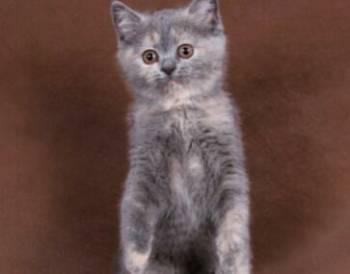 Британская черепашка кошечка котенок