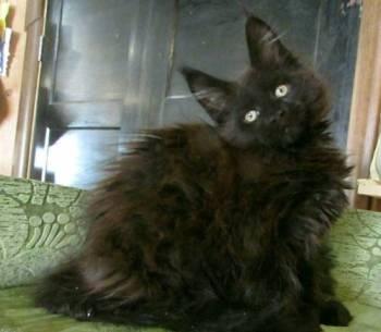 Питомник кошек Мейн кун, Сольвычегодск, цена: 17 000р.