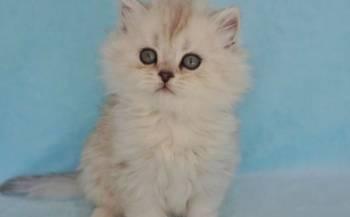 Котята окрас шиншиллы, Рязань, цена: не указана