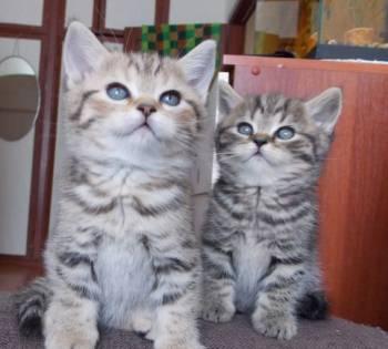Британские котята, Йошкар-Ола, цена: 2 000р.