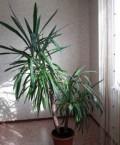 Растение Юкка 1м 70 см, Большие Уки