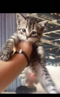 Продам котят Шотланцы, Белгород