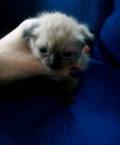 Продам шотландских котят, Омск