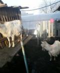 Козье молоко, Альметьевск