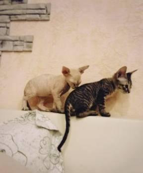 Продажа котят канадского сфинкса, Череповец, цена: 5 000р.