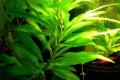 Аквариумные растения, Миллерово