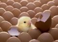 Яйцо инкубационное и цыплята, индюшата, утята суточн, Ярославль