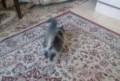 Котенок девочка, Омск