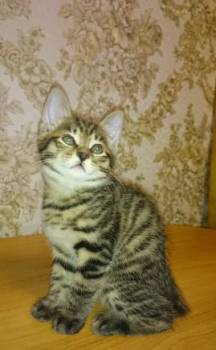 Котята Курильского бобтейла, Югорск, цена: 5 000р.
