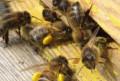 Продаю пчёл, Ковернино