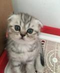 Шотландские вислоухие котята, Джанкой