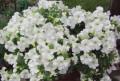 Рассада цветов, Брянск
