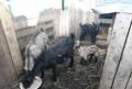 Чешские козы, Омск