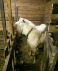 Племенной козел заан, Новокуйбышевск