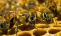 Пчелопакеты, Острогожск