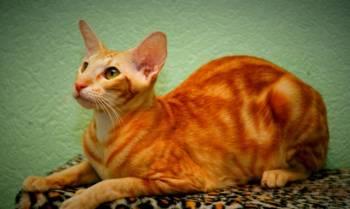 Ориентальная кошка, Красноярск, цена: 10 000р.
