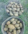 Картофель домашний, Белгород
