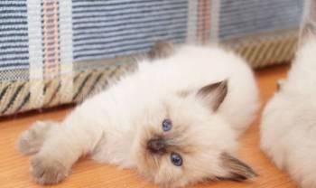 Чудесные котята неваки, Советская Гавань, цена: не указана