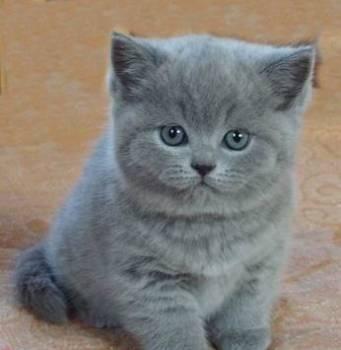 Британский котёнок -Маленький плюша голубой
