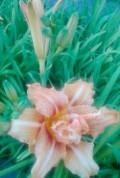 Многолетние цветы и растения, Венев