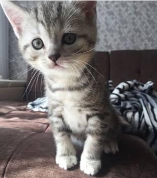 Шотландский котёнок, Ачинск, цена: 3 000р.