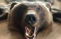 Бурый медведь. Шкура с отделкой, Козьмодемьянск