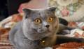 Вязка(шотландский котик), Симферополь