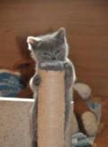Шотландские плюшевые котята, Дубна
