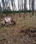 Молочная коза, Новоомский
