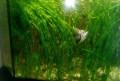 Валлиснерии - аквариумные растения, Майский