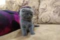 Шотландские котята, Старый Оскол