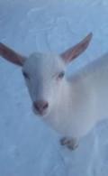Зааненская коза, Новочебоксарск