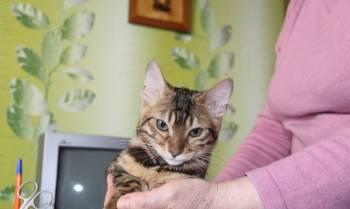 Продам котят породы бенгал, Миасс, цена: 5 000р.